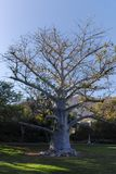 Langlebiger gebürtiger afrikanischer Baum Baobab, Adansonia digitata im kib Lizenzfreie Stockfotos