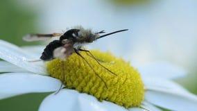 Langnasige Biene fliegt auf Kamillenblume stock video