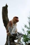 Langnasiger Affe (Nasalis larvatus) Lizenzfreies Stockfoto