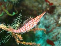 Langnasiges hawkfish Stockfotos