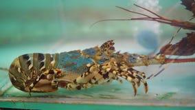 Langoest in de vissentank voor verkoop, verse zeevruchten op marktplaats stock video