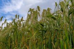 Langohriger Maiskornweizenanbau auf einem Gebiet Stockbilder