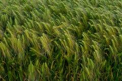Langohriger Maiskornweizenanbau auf einem Gebiet Stockfotografie