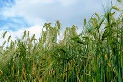 Langohriger Maiskornweizenanbau auf einem Gebiet Lizenzfreie Stockfotos