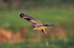 Langohriger Owl Asio-Otus Stockfotografie