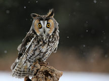 Langohriges Owl Looking Down Lizenzfreies Stockfoto