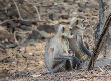 A langoor family Stock Image