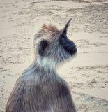 Langoor gris Photo libre de droits