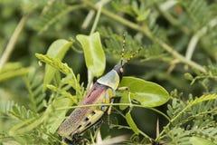 Langosta brillantemente coloreada en las hojas verdes fotografía de archivo