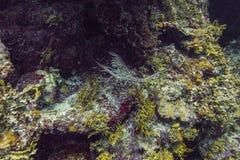 Langosta espinosa del Caribe Fotografía de archivo libre de regalías