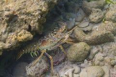 Langosta espinosa del Caribe hidding Foto de archivo
