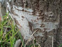 Langosta grande en tronco del árbol Imagenes de archivo