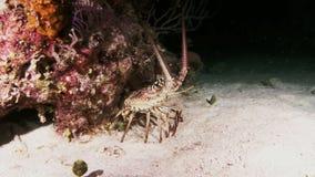 Langosta que camina en Coral Reef en busca de la comida almacen de metraje de vídeo