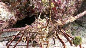 Langosta que camina en Coral Reef en busca de la comida metrajes