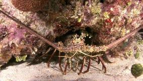 Langosta que camina en Coral Reef en busca de la comida almacen de video