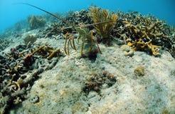 Langosta subacuática Imagen de archivo libre de regalías