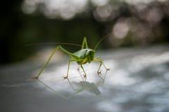 Langosta verde Fotos de archivo libres de regalías