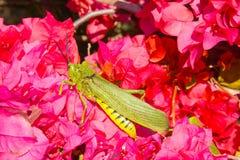 Langosta verde/amarilla en arbusto rosado de la buganvilla Imagenes de archivo