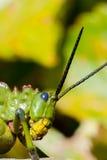 Langosta verde de Milkwood Fotografía de archivo