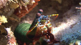 Langoust spiny lobster on background colorful corals underwater on bottom sea. stock video