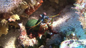 Langoust spiny lobster on background colorful corals underwater on bottom sea. stock video footage