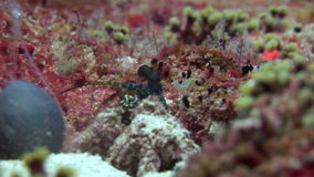 Langoust spiny lobster in search of food on background underwater on bottom sea. stock video