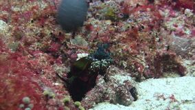 Langoust spiny lobster in search of food on background underwater on bottom sea. stock footage