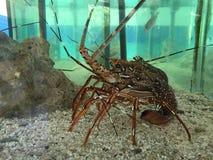 Langouste aquarium. Indian ocean lagoon Royalty Free Stock Photos