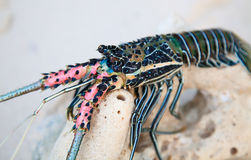 Langouste. On the piece of coral Royalty Free Stock Photos