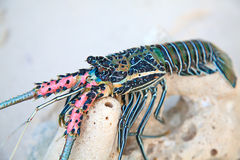 Langouste. On the piece of coral Stock Photos