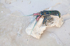 Langouste. On the piece of coral Royalty Free Stock Images