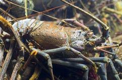 Langoustine Photo libre de droits