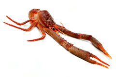 Langoustine Stock Photography