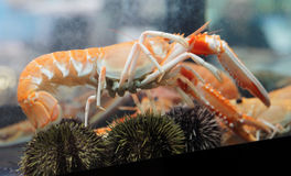 Langoustine in aquarium Stock Images