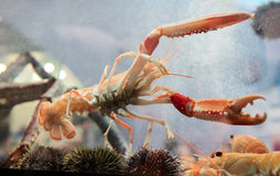 Langoustine in aquarium Stock Photo