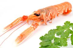 Langoustine in closeup on white background. Crustacean and parsley in closeup on white background royalty free stock photography