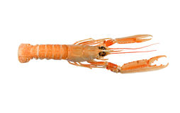 Langoustine (crevette rose de compartiment de Dublin) Images stock