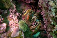 Langoustine dans une caverne Image stock