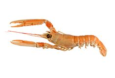 Langoustine (Dublin Bay Prawn) Royalty Free Stock Photography