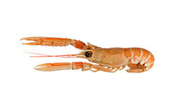 Langoustine (Dublin Bay Prawn) Royalty Free Stock Images