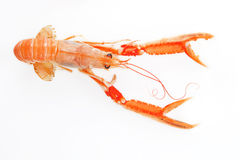 Langoustine isolated. Stock Image
