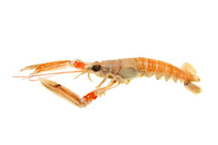 Langoustine side view Royalty Free Stock Photos