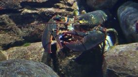 Langoustine sous-marine banque de vidéos