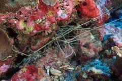 Langoustines de roche peintes Photo libre de droits