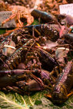 Langoustines sous tension image stock