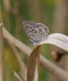 Langs kortslutning tailed blått Royaltyfri Fotografi