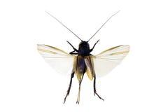 Langsam-zwitscherndes Grille, Lepidogryllus comparatus Lizenzfreies Stockfoto