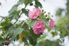 Langsame Belichtungszeit der Baumwollrosafarbenen Blume mit Wasser fällt am regnerischen Tag Stockfotos