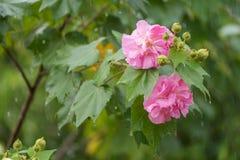 Langsame Belichtungszeit der Baumwollrosafarbenen Blume mit Wasser fällt am regnerischen Tag Lizenzfreie Stockbilder