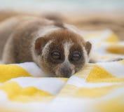 Langsame loris albern das Lügen auf dem Tuch auf dem Strand herum Stockbilder